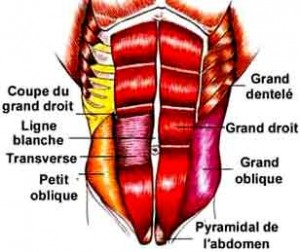 muscles-abdominaux